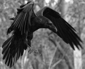 bird,nature,black,wings-d1b589312dfdd0eb6cfb2f3221cfb6e7_h