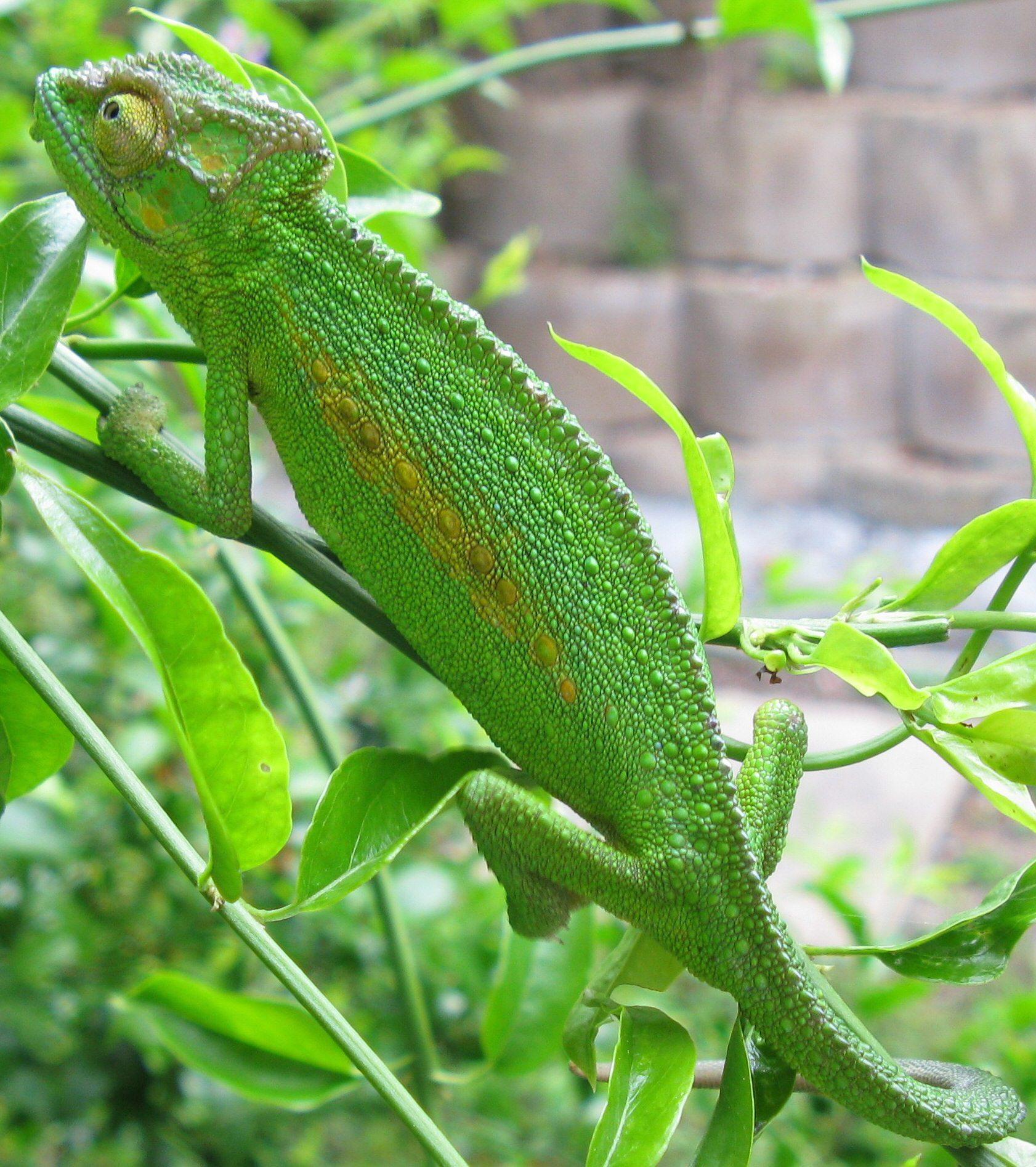 bradypodion_pumilum_cape_chameleon_female_img_1767_cropped