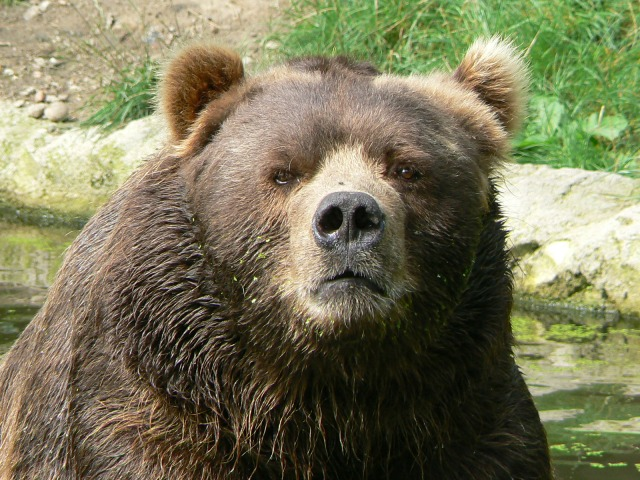 male_kodiak_bear_face