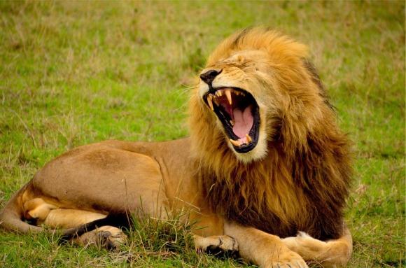 lion-692219_960_720