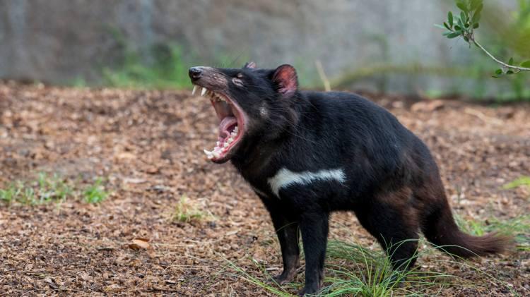 animals_hero_tasmaniandevil