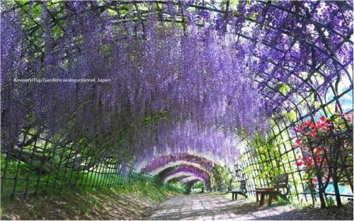 wisteriatunnel