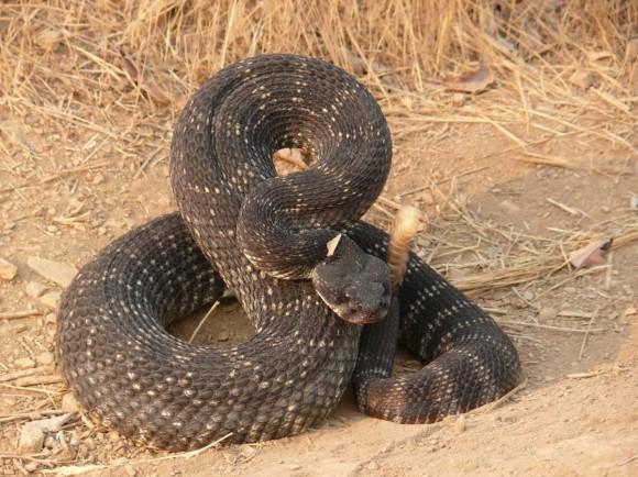 rattlesnake_coiled_reptile_wildlife_venomous_pit_viper_rattle_nature-662138.jpg!d