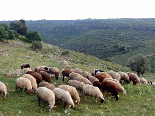 pikiwiki_israel_35745_sheep_grazing